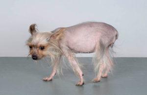 yorkshire terrier DGK 0701508 12-02-2007 04